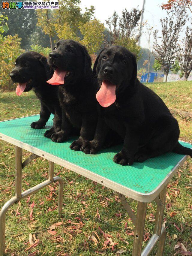 犬舍直销纯种拉布拉多导盲犬。白色黑色均有、血统纯正