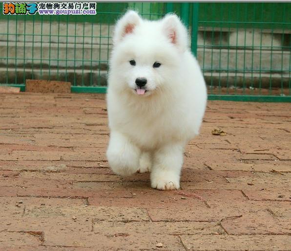 纯种澳版萨摩耶幼犬、一身雪白、健康保障、血统纯正
