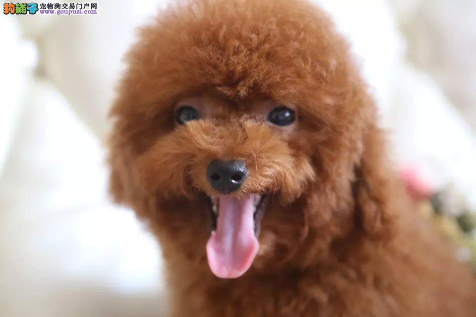 纯种贵宾幼犬、精品小体、血统纯正、在乎品质的找我