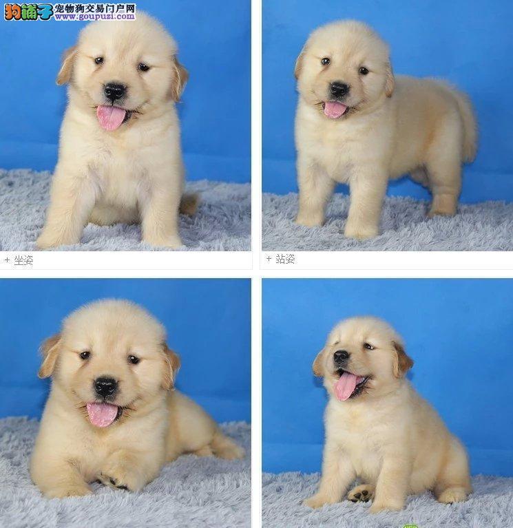 纯种赛级金毛幼犬出售、高品质血统金毛犬、保障健康