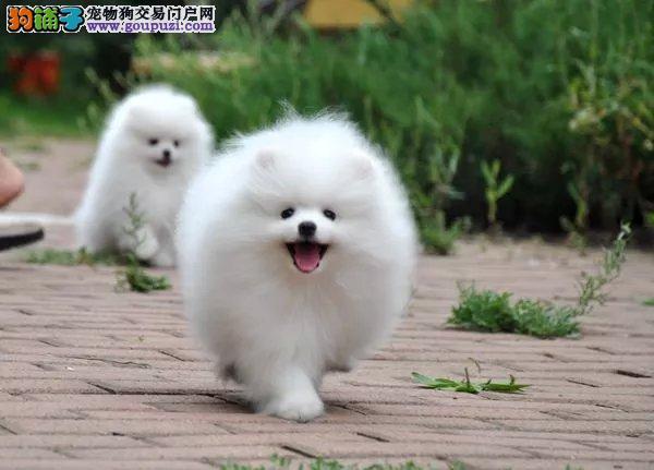 纯种健康品质博美幼犬、精品小体、血统纯正、健康保障