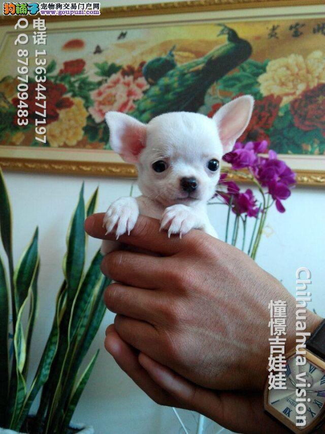 纯种健康的吉娃娃幼犬、黄白花、黑白花、健康品质保证