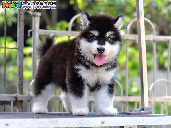 纯种巨型阿拉斯加幼犬、黑色红色均有、纯种健康保障