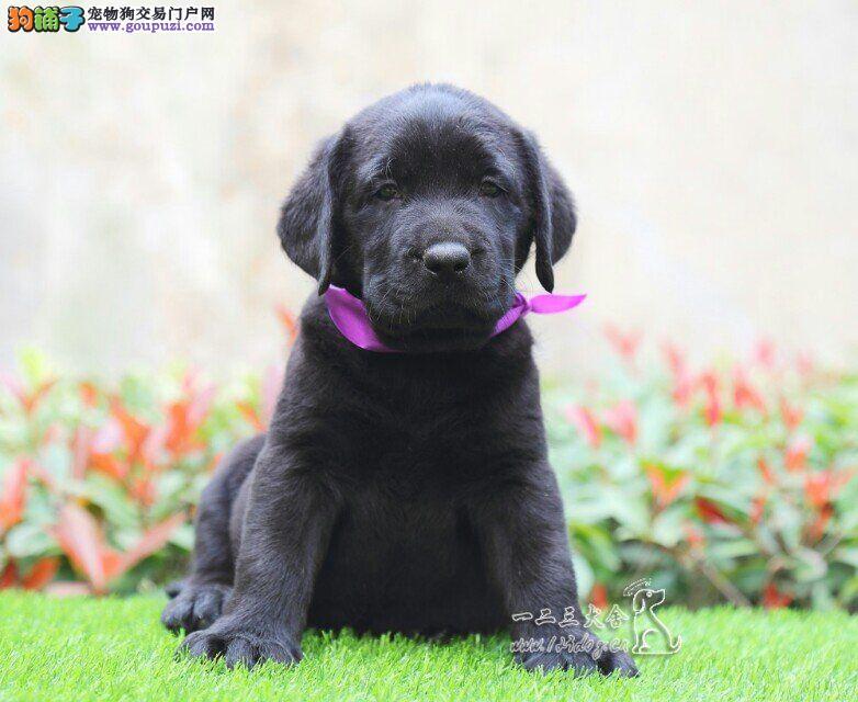 高品质拉布拉多幼犬、赛级品质拉布拉多犬、值得信赖