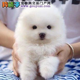 纯种博美幼犬出售、精品小体、球形博美、健康有保障