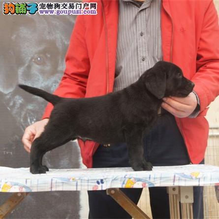 犬舍直销纯种拉布拉多幼犬、正宗拉布拉多、血统纯正