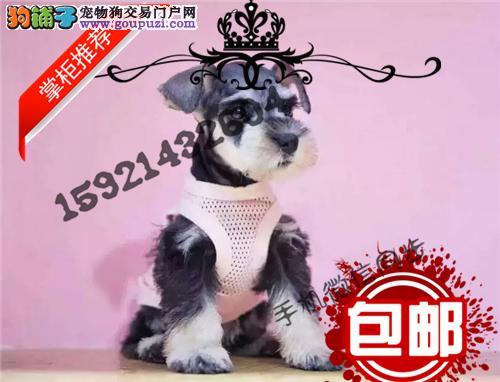 双血统聪明伶俐雪纳瑞幼犬出售保纯保健康免费指导饲养