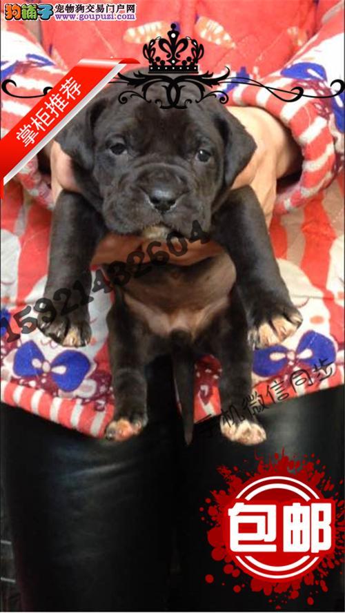 出售纯种比特 耐力最强的斗犬 比特幼犬纯种健康带证书