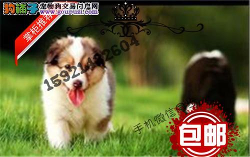 纯种喜乐蒂 聪明可爱活泼小型犬 公母均有 包健康