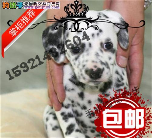 韩国引进大麦町 甜美脸型 斑点幼犬纯种健康质保终身