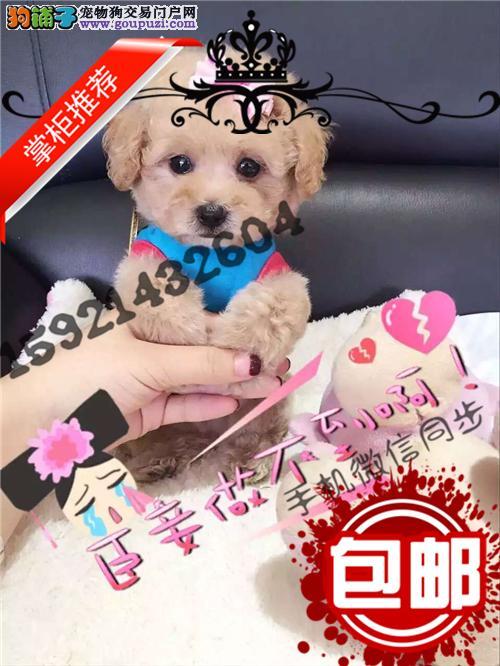 纯种茶杯玩具泰迪犬出售 品相好颜色齐全 健康签协议