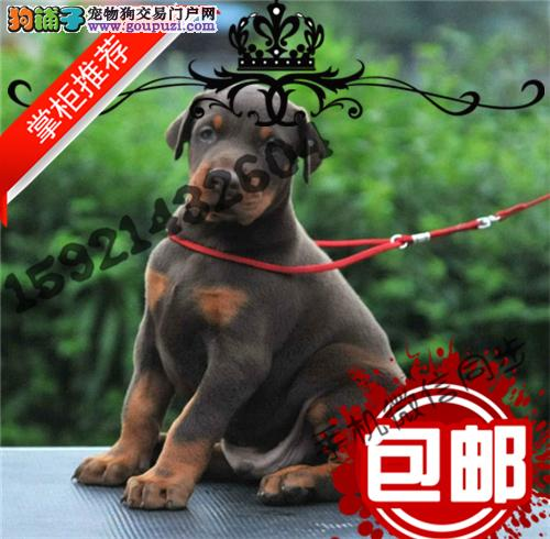 长期繁殖美系德系杜宾犬 各类纯种名犬 包养活签协议