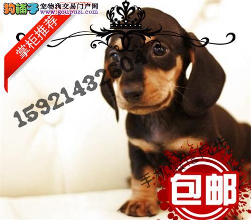 极品腊肠犬在这里、保障纯种和健康、十佳犬舍CKU认证