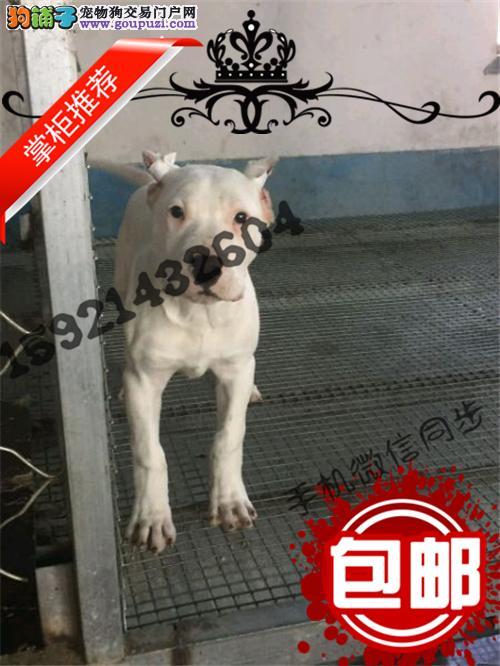 极品 杜高犬保证 纯种健康 CKU国际认证犬舍