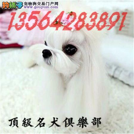 CKU认证犬舍直销马尔济斯犬頂级品质签协议包售后