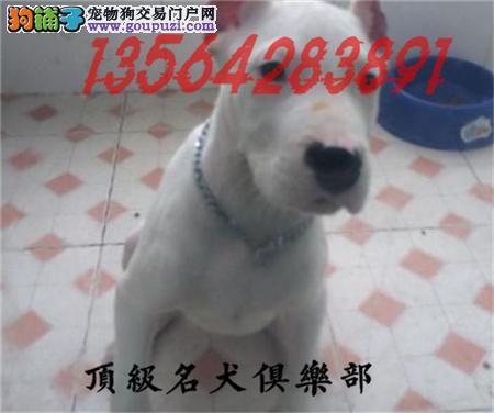 CKU认证犬舍直销杜高犬頂级品质签协议包售后