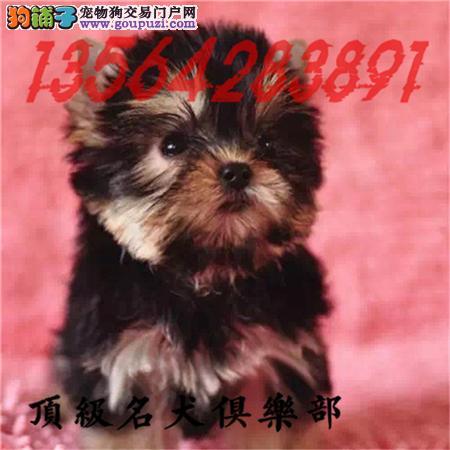 CKU认证犬舍直销约克夏宝宝頂级品质签协议包售后