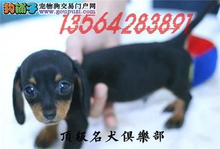 CKU认证犬舍直销腊肠犬頂级品质签协议包售后