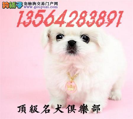 CKU认证犬舍直销京巴犬頂级品质签协议包售后