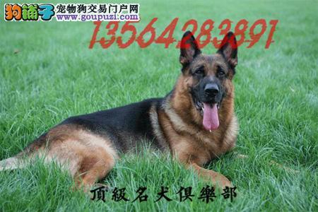CKU认证 犬舍直销德牧犬包纯种健康养活 喜欢加微信