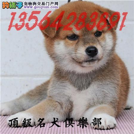 CKU认证 犬舍直销柴犬宝宝 包纯种健康养活 喜欢加微信