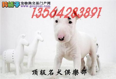 CKU认证犬舍直销牛头梗犬頂级品质签协议包售后