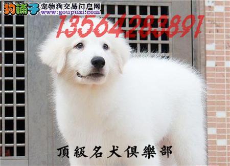 CKU认证犬舍直销大白熊犬頂级品质签协议包售后
