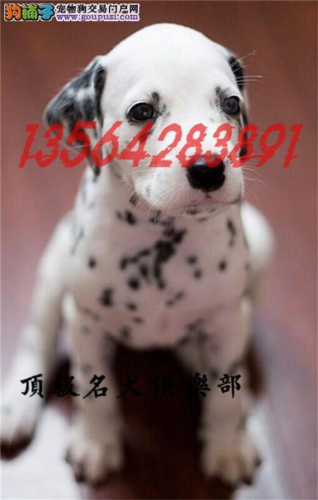 CKU认证犬舍直销斑点犬頂级品质签协议包售后