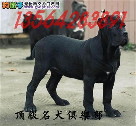 CKU认证犬舍直销卡斯罗犬頂级品质签协议包售后