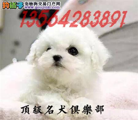 CKU认证犬舍直销比熊犬頂级品质签协议包售后