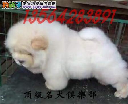 CKU认证犬舍直销松狮犬頂级品质签协议包售后