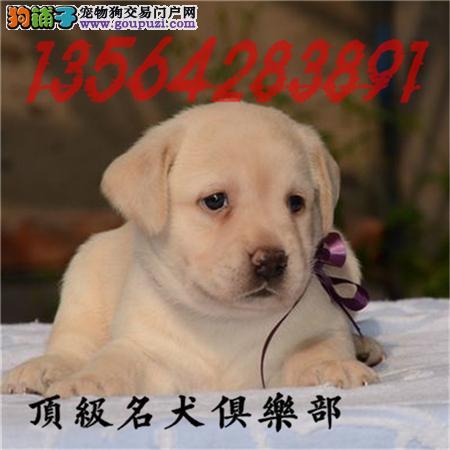 CKU认证犬舍直销拉布拉多犬頂级品质签协议包售后