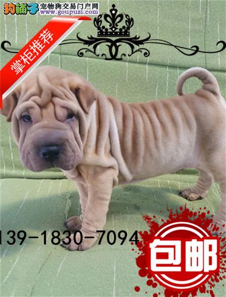 CKU认证犬舍 专业出售高品质沙皮幼犬 包纯种 包健康