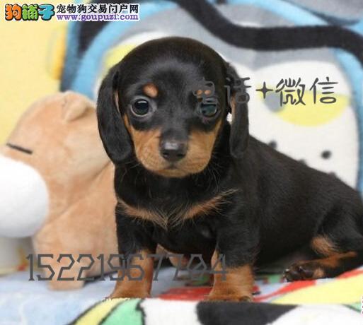 长期繁殖精品腊肠 各类纯种名犬 包养活签协议
