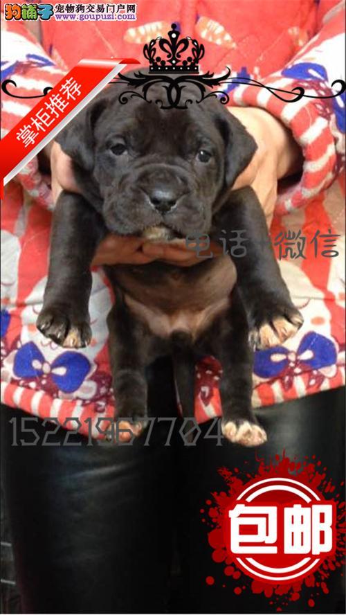 长期繁殖杜高比特恶霸犬 各类纯种名犬 包养活签协议