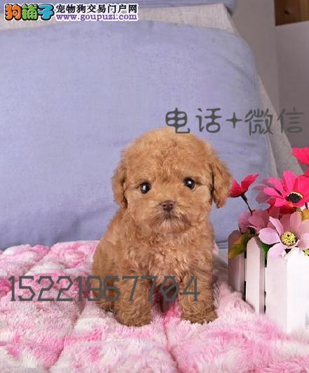长期繁殖精品泰迪 各类纯种名犬 包养活签协议