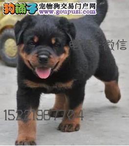 长期繁殖精品罗威纳 各类纯种名犬 包养活签协议