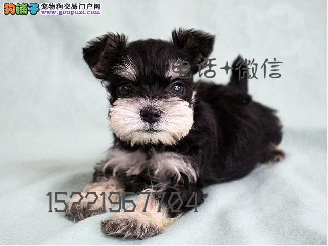 长期繁殖精品雪纳瑞 各类纯种名犬 包养活签协议