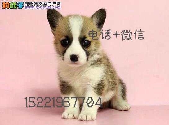 长期繁殖精品柯基 各类纯种名犬 包养活签协议