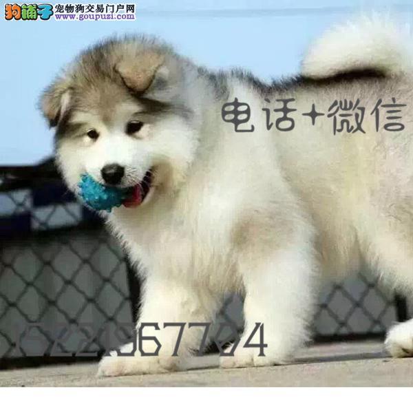 长期繁殖桃脸十字脸阿拉 各类纯种名犬 包养活签协议