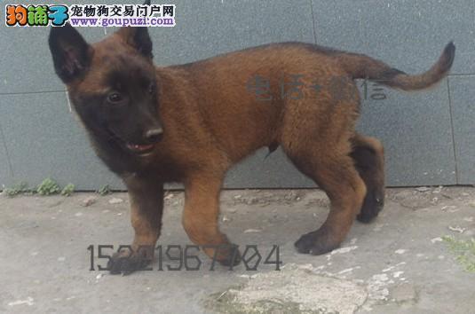 长期繁殖精品马犬 各类纯种名犬 包养活签协议