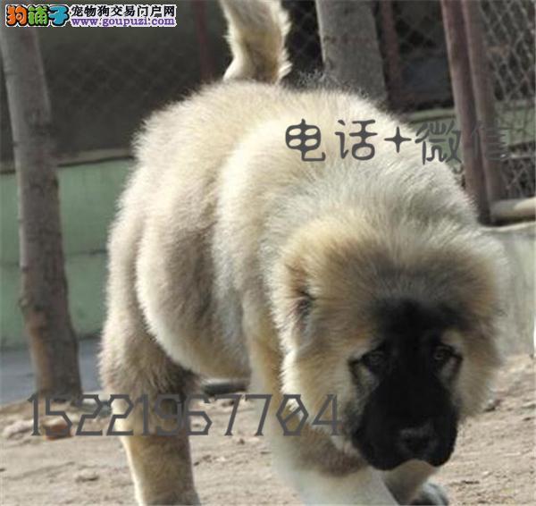 长期繁殖双血统高加索幼犬 各类纯种名犬 包养活签协议