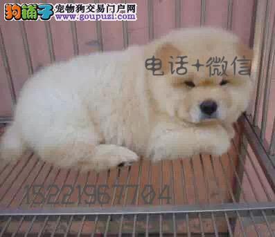 长期繁殖精品松狮 各类纯种名犬 包养活签协议