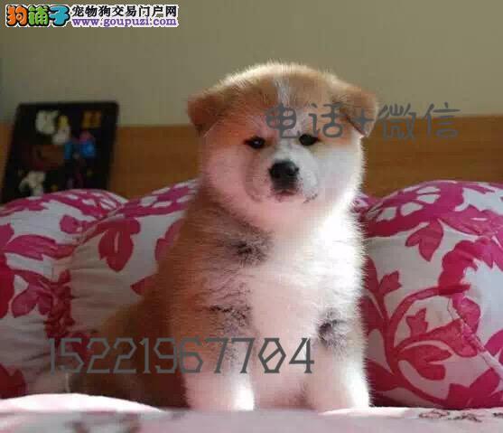 长期繁殖精品秋田 各类纯种名犬 包养活签协议