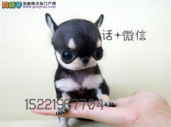 长期繁殖精品吉娃娃 各类纯种名犬 包养活签协议