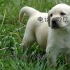 长期繁殖精品拉布拉多 各类纯种名犬 包养活签协议