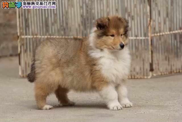 长期繁殖双色苏牧品种多 各类纯种名犬 包养活签协议