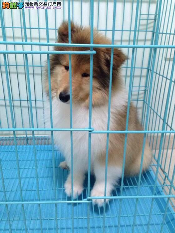 出售纯种苏格兰牧羊犬 可爱苏牧,可视频挑选送狗上门