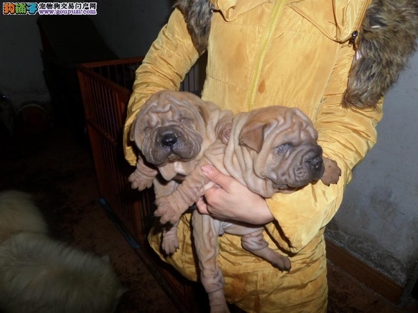 出售精品沙皮犬/包纯种·保健康·包养活