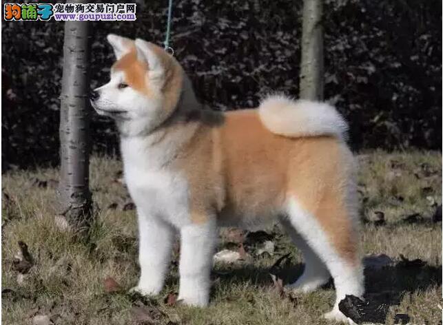 犬舍直销一精品秋田一可签协议一包养活一三个月可退